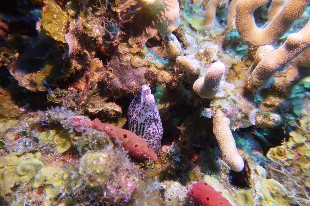 Pigeon Keys Roatan moray eel