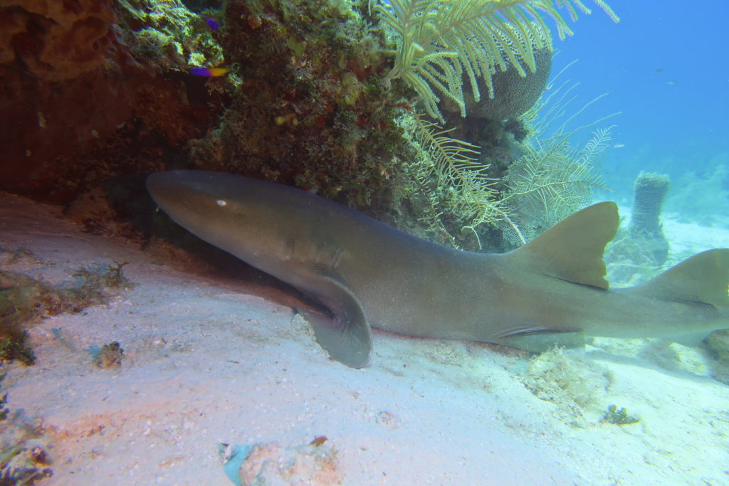 Pigeon Keys roatan shark