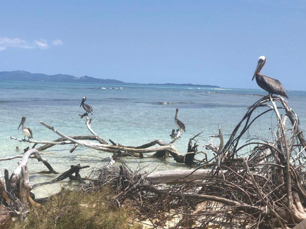 Pigeon Keys Roatan Pelicans
